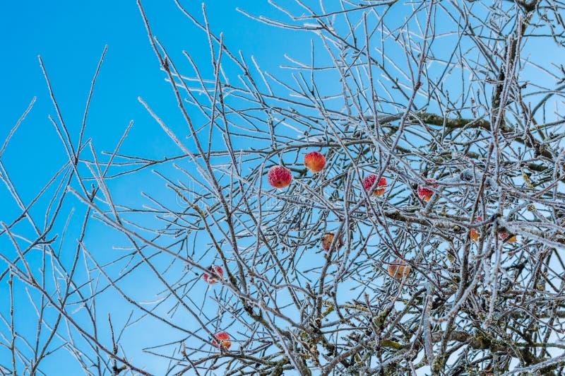Naakt en hoarfrosted appelbomen met bevroren rode appelen op het stock afbeeldingen