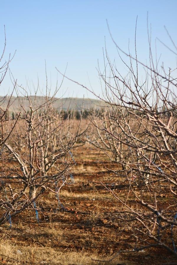 Naakte appelbomen stock afbeeldingen