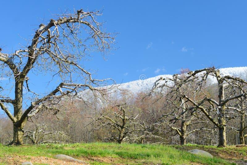 Naakte appelbomen onder sneeuw afgedekte bergen royalty-vrije stock foto's