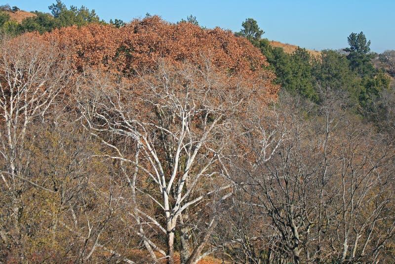 Naakte bomen in de winter in voorgrond met roestbladeren op bomen op de achtergrond stock afbeeldingen