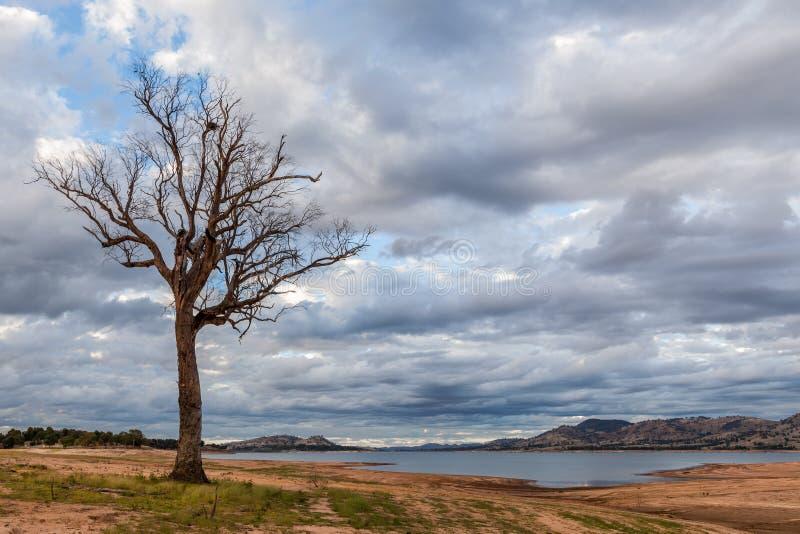 Naakte boom die zich op de kust van Hume Lake bevinden stock afbeeldingen