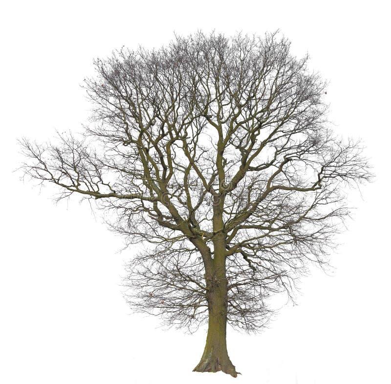 Naakte boom geïsoleerdg op wit royalty-vrije stock foto's