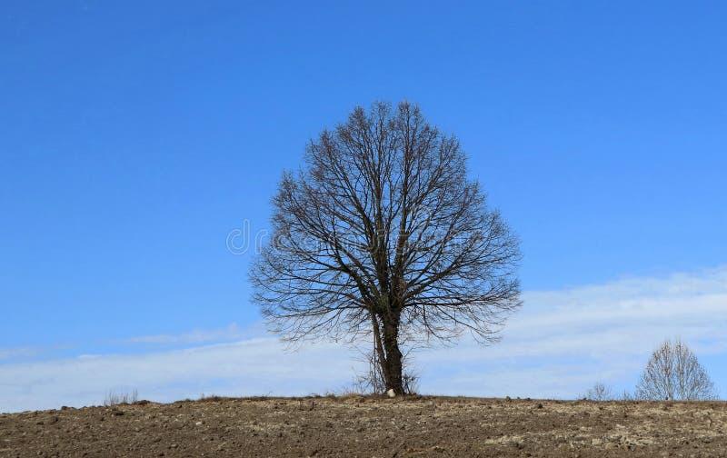 Naakte lindeboom, of Tilia-cordata, in een minimalistisch de winterlandschap tussen een bruin geploegd land en een blauwe hemel stock afbeelding