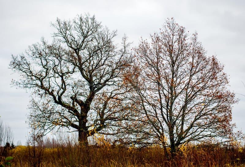 Naakte oude eiken bomen royalty-vrije stock fotografie
