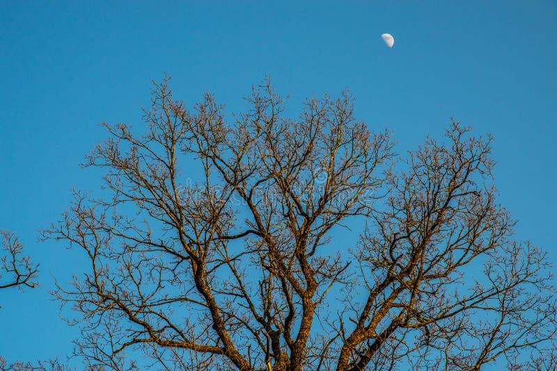 Naakte oude eiken bomen stock afbeelding