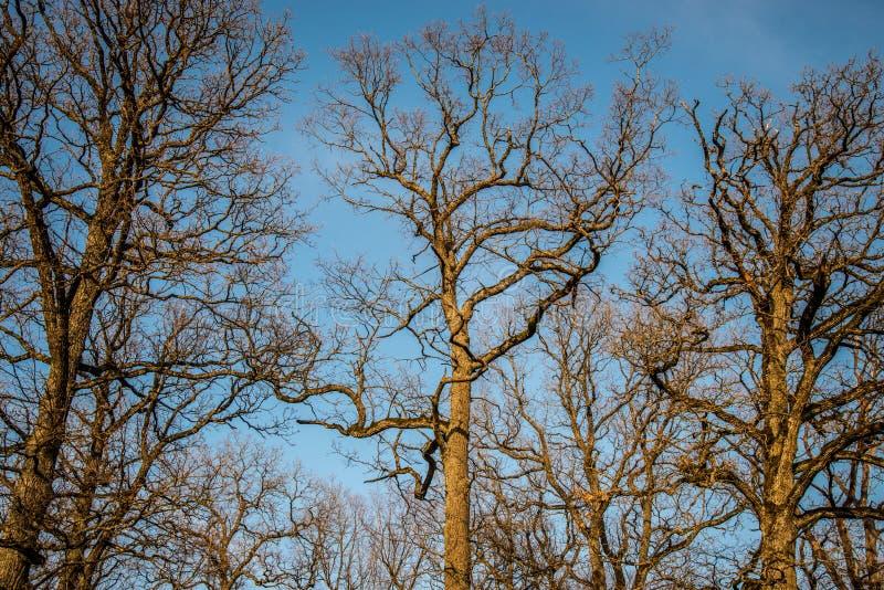 Naakte oude eiken bomen royalty-vrije stock foto's