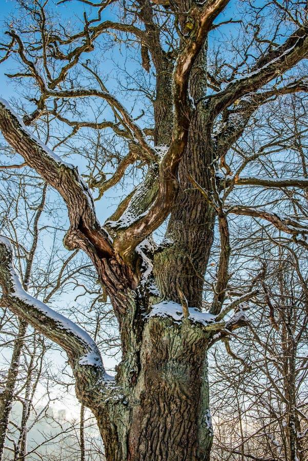 Naakte oude eiken boom royalty-vrije stock foto