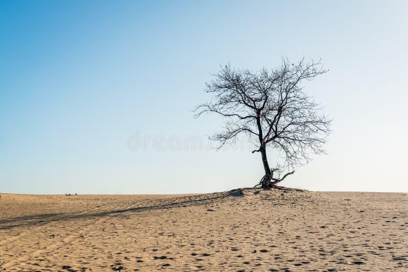 Naakte solitaire boom bovenop een zandduin stock foto's