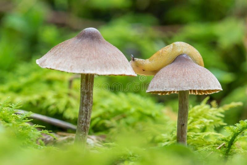 Naaktslak die zich op twee zeer kleine paddestoelen bewegen die in veenmosmos groeien stock afbeelding