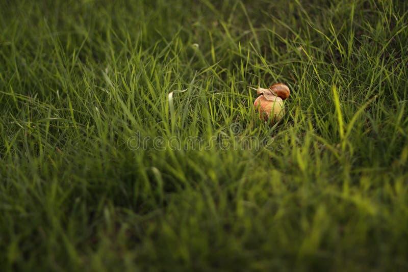 Naaktslak op appel stock afbeelding