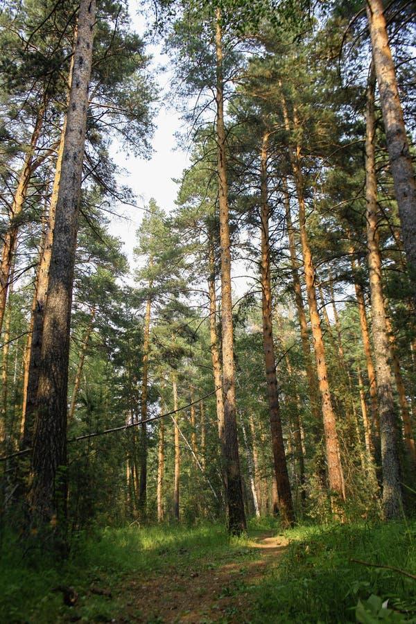 Naald Bosweg bij zonsopgangsleep in het hout royalty-vrije stock foto
