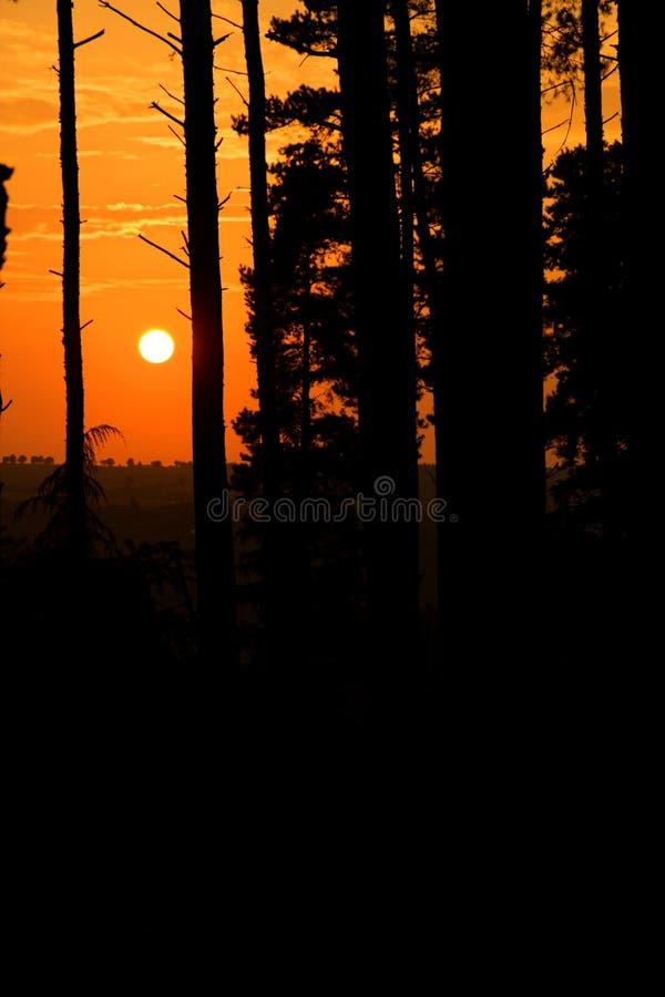 Naaldbomen bij zonsondergang royalty-vrije stock fotografie