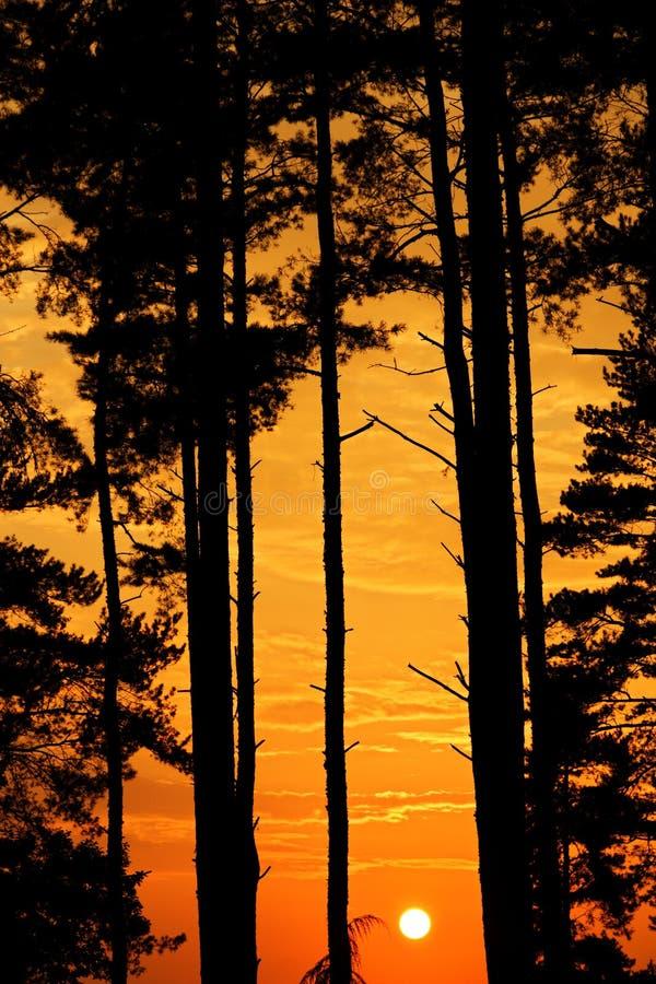 Naaldbomen bij zonsondergang royalty-vrije stock afbeeldingen