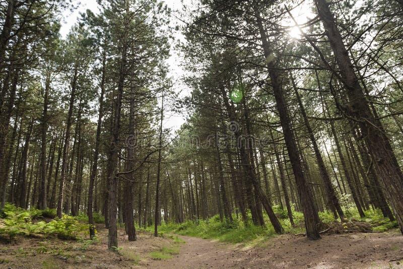 Naaldbomen, Conifers. Naaldbomen in bos op Schiermonnikoog; Conifers in forest at Schiermonnikoog royalty free stock images