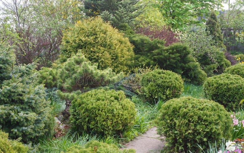 Naaldbomen in de tuin: sparren, arborvitae, pijnboom, spar, j royalty-vrije stock foto's