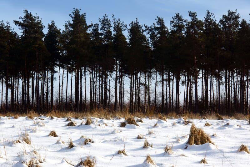 Naaldbomen in een sneeuw behandeld landschap stock foto's