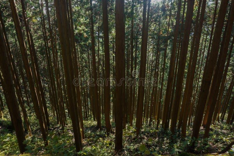 Naaldboom in het bos bij Mitake-berg Japan stock afbeeldingen