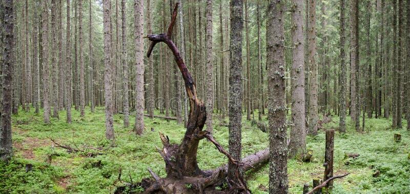 Naaldboombos met dode boom stock afbeelding
