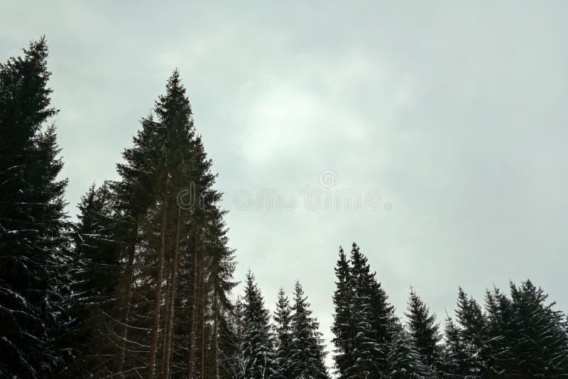 Naaldboombovenkanten met weinig sneeuw, tegen grijze donkere hemelruimte voor tekst, typische sombere de winterdag in bos royalty-vrije stock afbeelding