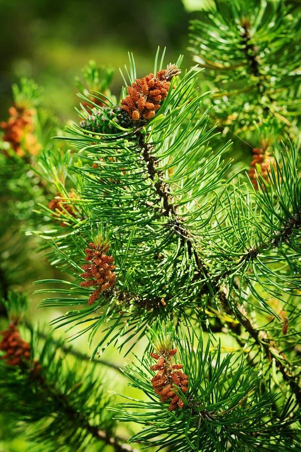 Naaldboomkegels Scots of Schotse pijnboompinus sylvestris jonge mannelijke stuifmeel bloeit en vrouwelijke kegel royalty-vrije stock foto
