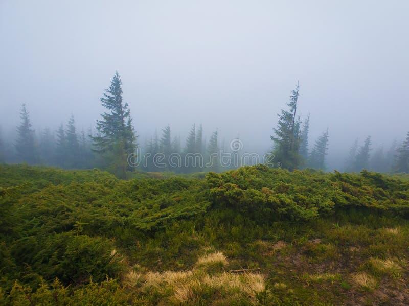 Naaldbos op de Karpatische bergheuvels in een koude mistige de lenteochtend stock foto