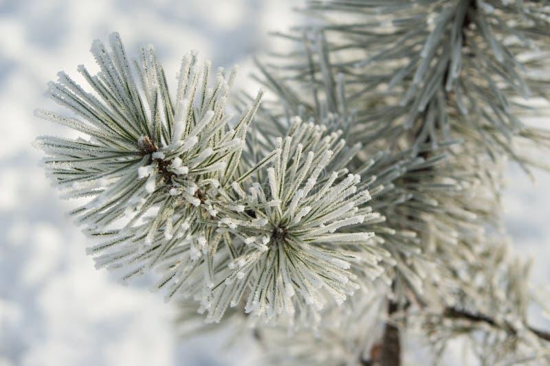 Naalddietakken met rijppijnboom, ijs en sneeuw worden behandeld royalty-vrije stock fotografie