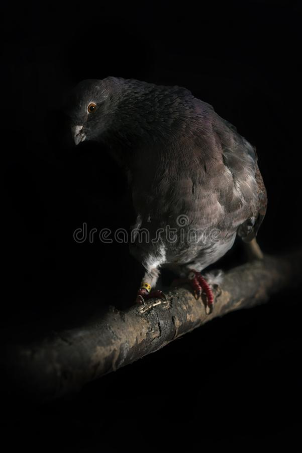 Naar huis gekweekte duiven royalty-vrije stock foto's