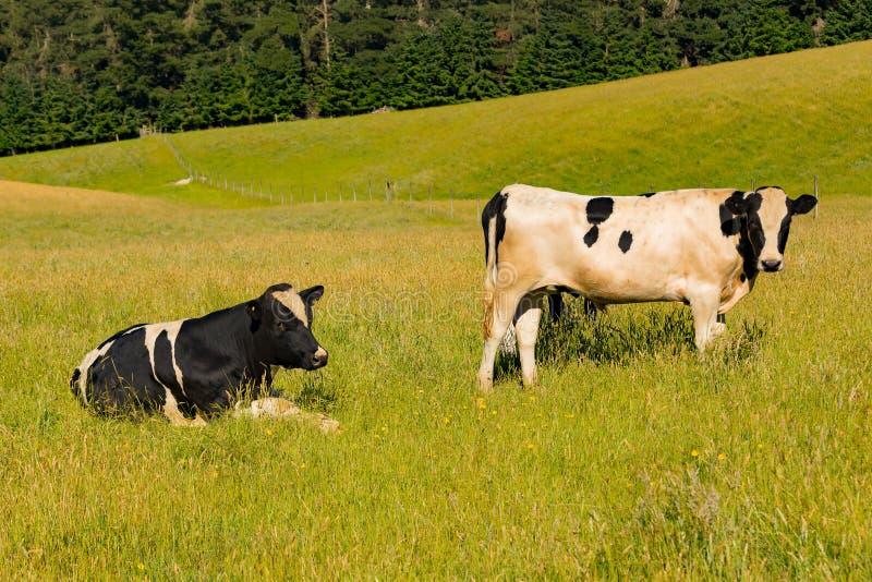 Nabiał dojna krowa nad zielonego szkła polem zdjęcie royalty free