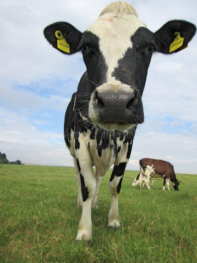 Nabiał krowa w polu zdjęcie royalty free