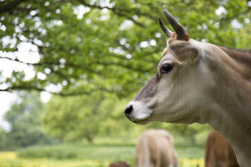 Nabiał krowa w polu obraz royalty free