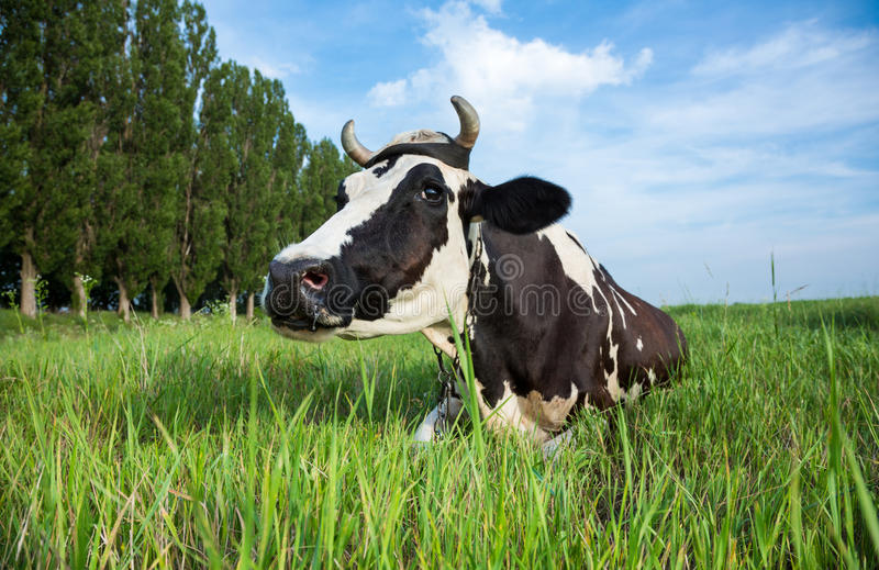 Nabiał krowy lying on the beach na paśniku obrazy royalty free