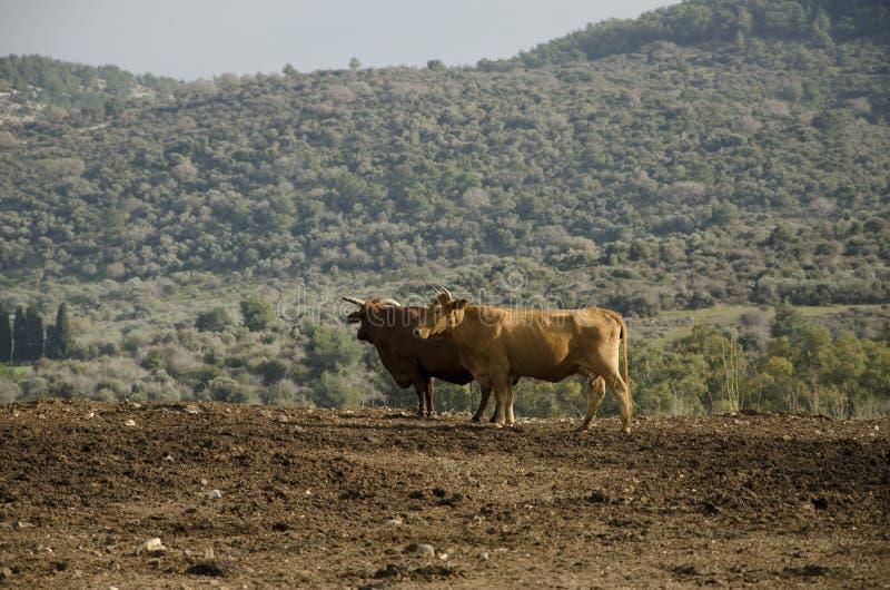 Nabiał krowy pasanie na zbocza gospodarstwie rolnym Israel obraz stock