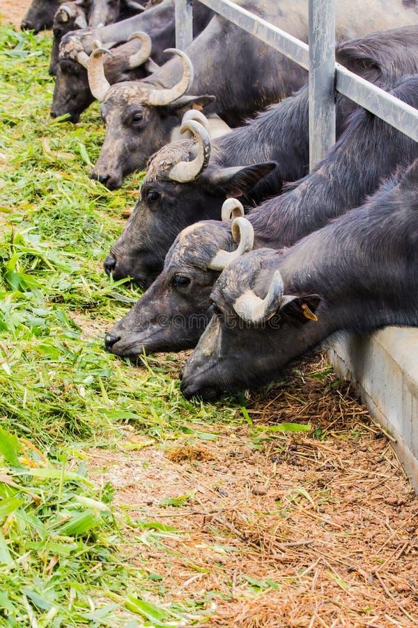 Nabiału łasowania bawolia trawa zdjęcia stock