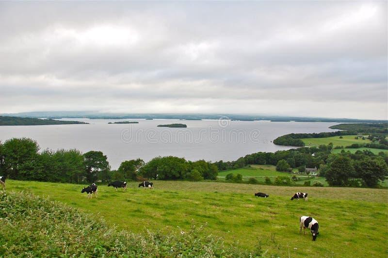 Nabiału jezioro w Irlandia i krowy obrazy stock