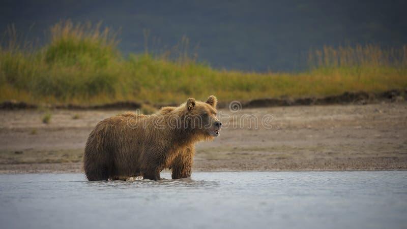 Nabrzeżny brown niedźwiedź obrazy royalty free
