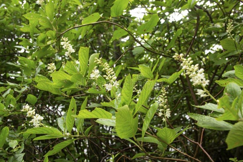 Nabrzeżny słodki pepperbush kwiecenie na Cape Cod, Massachusetts obrazy stock