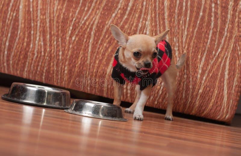 Nach der Fütterung von gra der Chihuahuawelpe kleidete mit Pullover leckend an stockfotografie