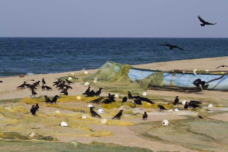 Nach der Fischerei auf dem Strand in Sri Lanka Glanzkrähen gruppieren stockfotos