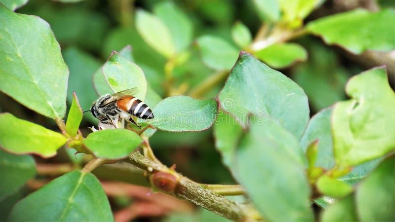 Nach der Sommer Honigbiene, die auf kleinen Blumen in der linken Ansicht des Gartens sich wundert stockbilder