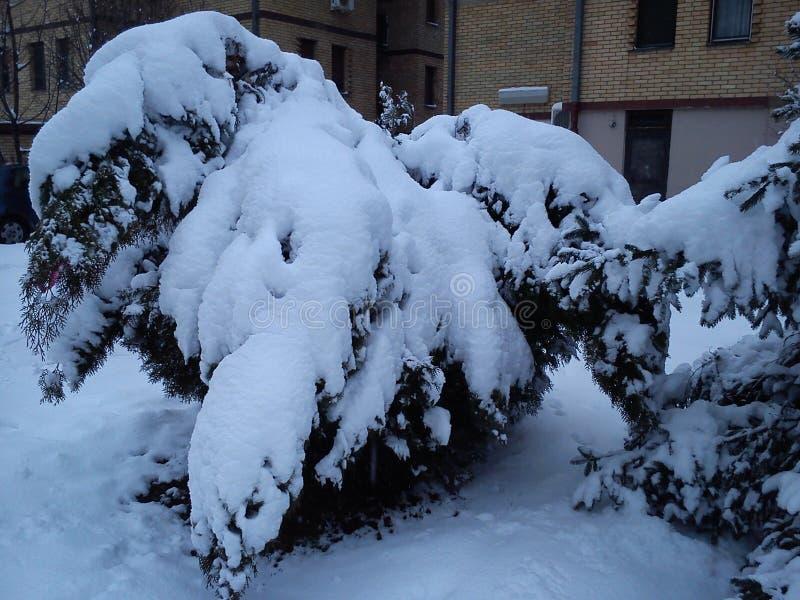 Nach einem Schneesturm in der Stadt verbogen Thuja und Fichte unter dem Joch des gehackten Schnees Die Äste des Baumes biegen fas lizenzfreie stockbilder
