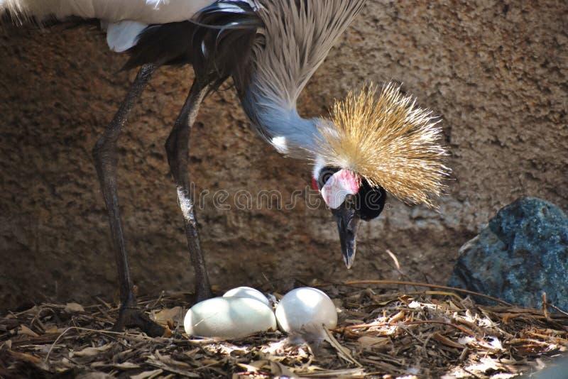 Nach Osten Afrikaner gekrönter Kran mit drei Unhatched Eiern lizenzfreie stockfotografie