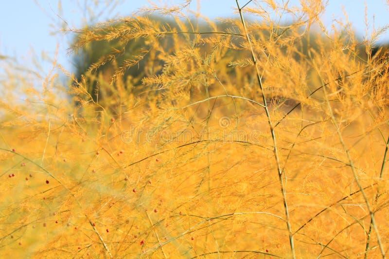 Nach Spargelernte im Herbst wachsen gelbe Büsche auf dem Feld mit den neuen roten Samen, die empfindliches Netz von Zweigen bilde lizenzfreie stockfotos