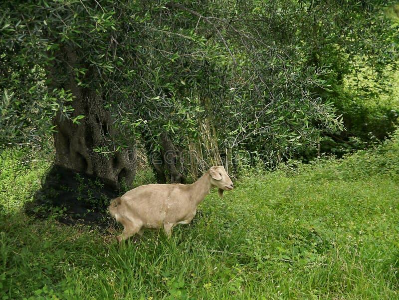 Nachdenkliche Ziege gestanden im Olivenhain stockbild