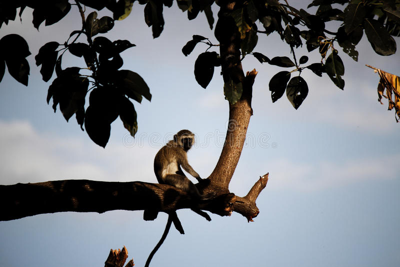 Nachdenklicher Affe, der auf einer Niederlassung bei Sonnenuntergang sitzt lizenzfreies stockbild