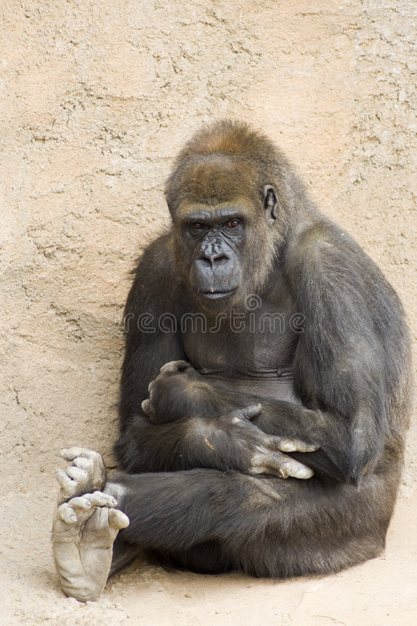 Nachdenklicher Gorilla stockfoto