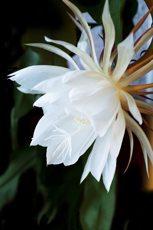 Nacht Bloeiende Cereus. Ook genoemd geworden Koningin van de Nacht. stock foto