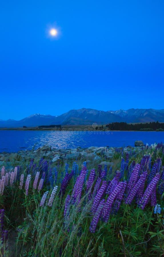 Nachtansicht des Landschafts-und Lupinen-Blumen-Feldes See Tekapo, Neuseeland Verschiedene, bunte Lupine blüht in voller Blüte stockbilder