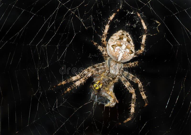 Nachtbild der Spinne sein Opfer einwickelnd lizenzfreie stockfotos