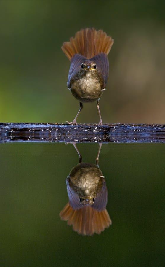 Nachtegaal, usignolo comune, megarhynchos di Luscinia fotografie stock