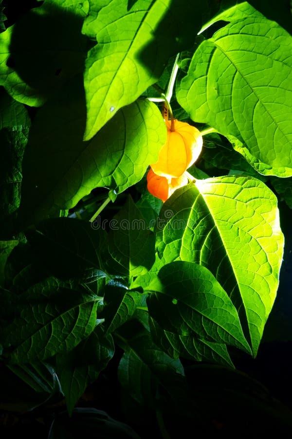Nachtfoto der Physalisfrucht, glühend wie Laternen unter grünen Blättern stockfotografie